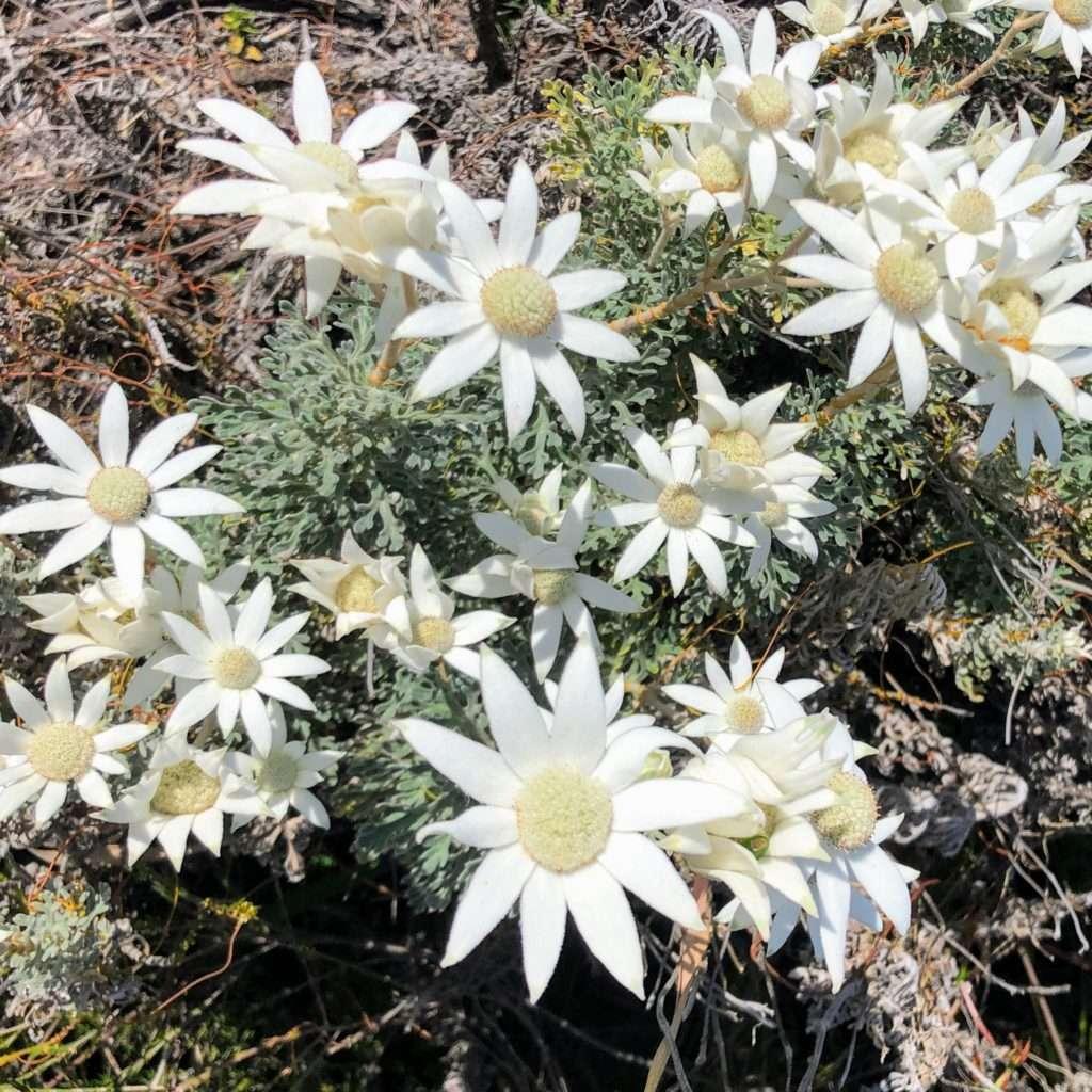 Yuraygir Coastal Walk - flannel flowers